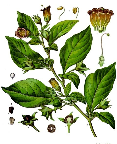 Deadly nightshade was dubbed Atropa belladonna by Carl Linnaeus, the father of binomial nomenclature, in his 1753 book Species Planatarum.