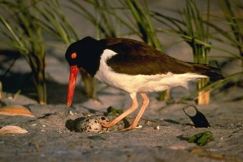 Oystercatcher with egg