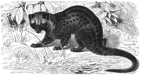 The Asiam palm civet is not a member of the weasel family, but is commonly referred to by the Vietnamese word meaning weasel.